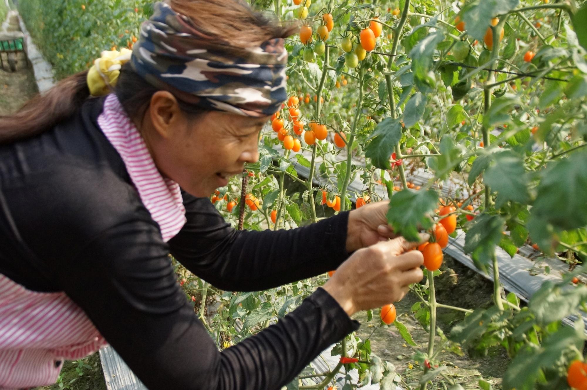 【ちょっとディープな台湾旅】高雄一日農夫ツアー Part 2 ~オレンジ一色プチトマ ト狩り~
